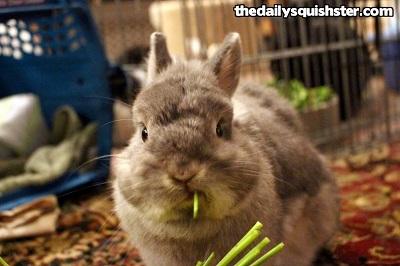 Determine sex of house rabbit