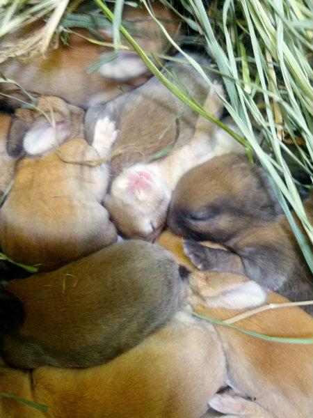 Baby Rabbits Domestic Wabbitwiki