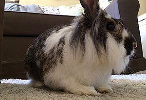 Deciding On A Rabbit Wabbitwiki