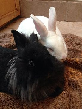 A black lionhead rabbit happily snuggling with her boyfriend. 4ef50d4e5