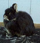 Rabbit breeds around the world - WabbitWiki