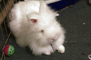 Angora And Other Long Haired Rabbits Wabbitwiki